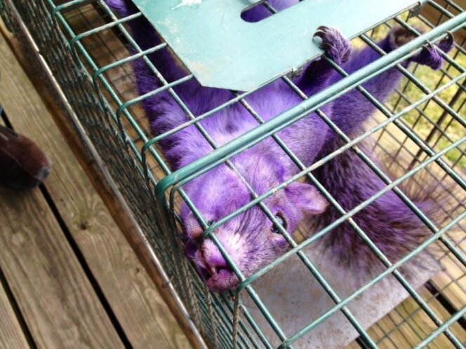 Violetinė voverė / Facebook nuotr.